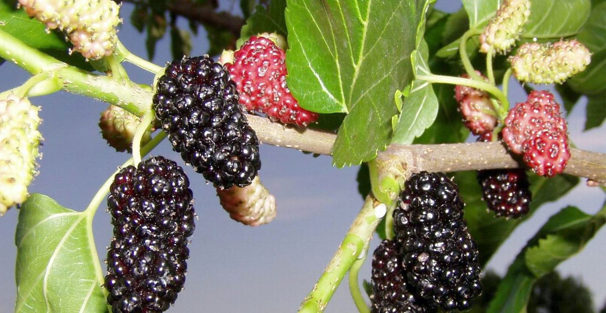 Legend tree – mulberry or morus plant