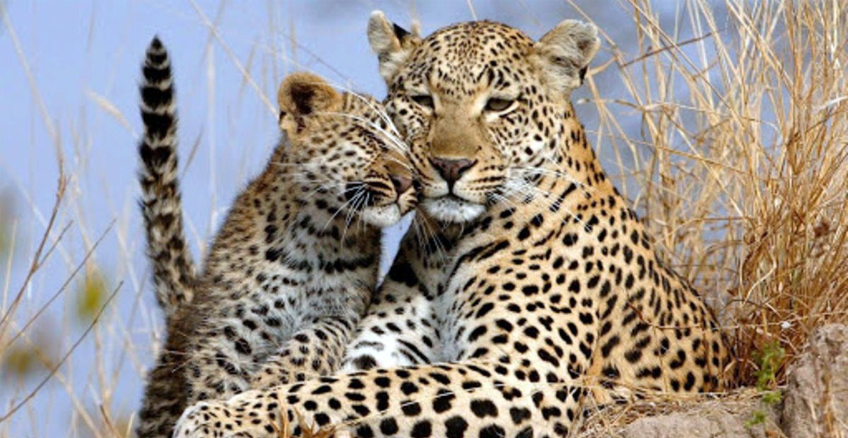 In Sochi descendants of the Turkmen leopard released into the wild