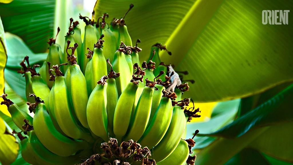 В Туркменистане созрел первый урожай бананов