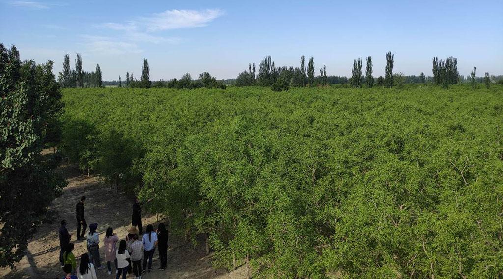 China Daily: Опыт выращивания Унаби в условиях пустыни