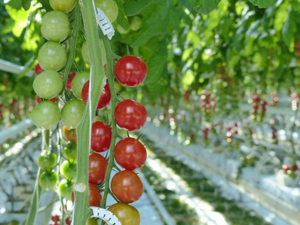 Инвестиции в развитие тепличных хозяйств в Туркменистане – один из приоритетов ЕБРР