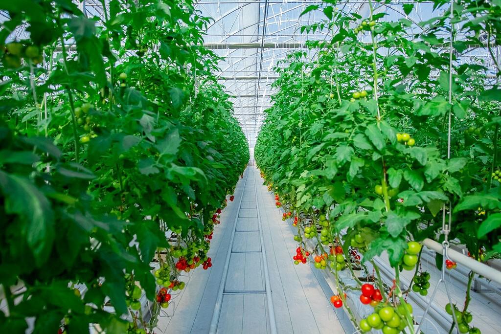 Общая площадь частных теплиц в Туркменистане достигла 450 гектаров