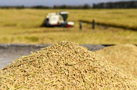 Rice harvesting started in Dashoguz region